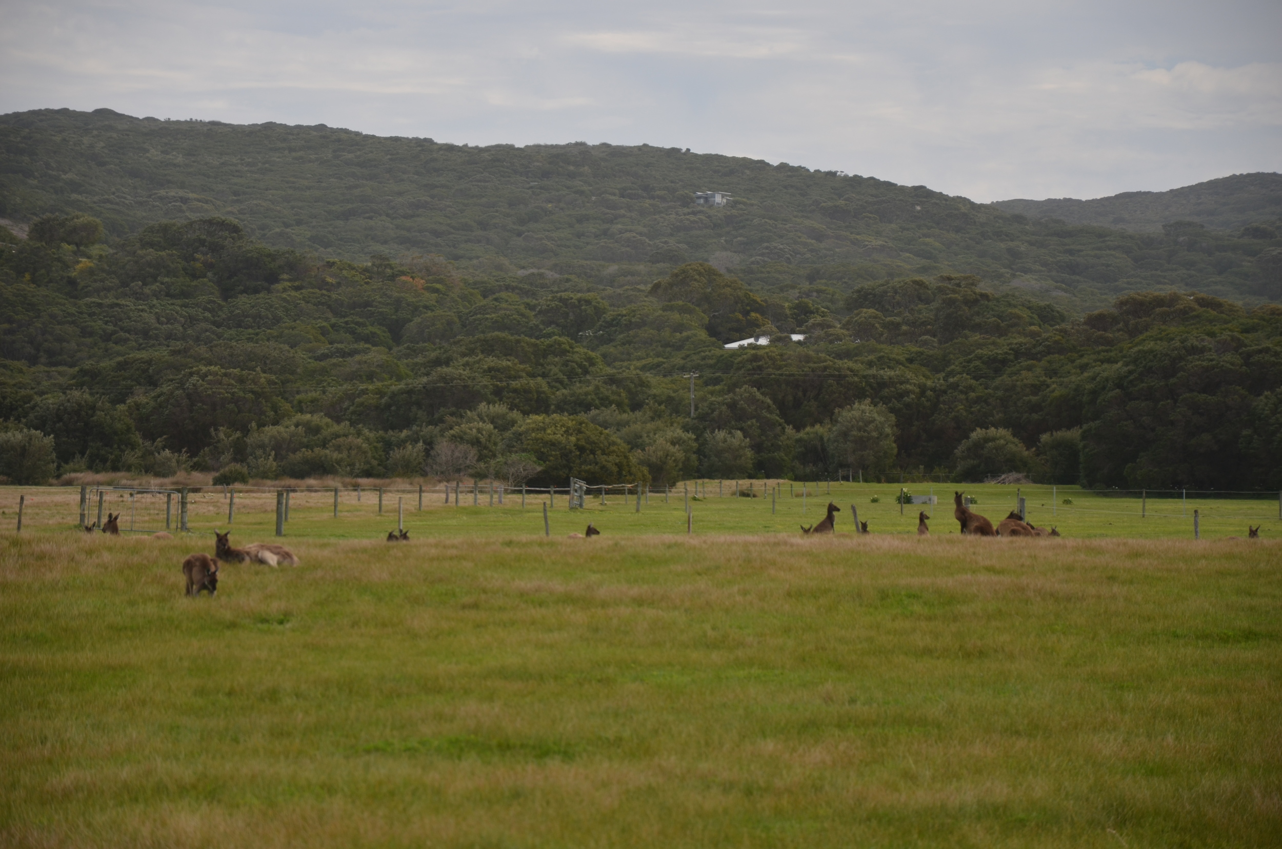 Field of roo's, Albany.