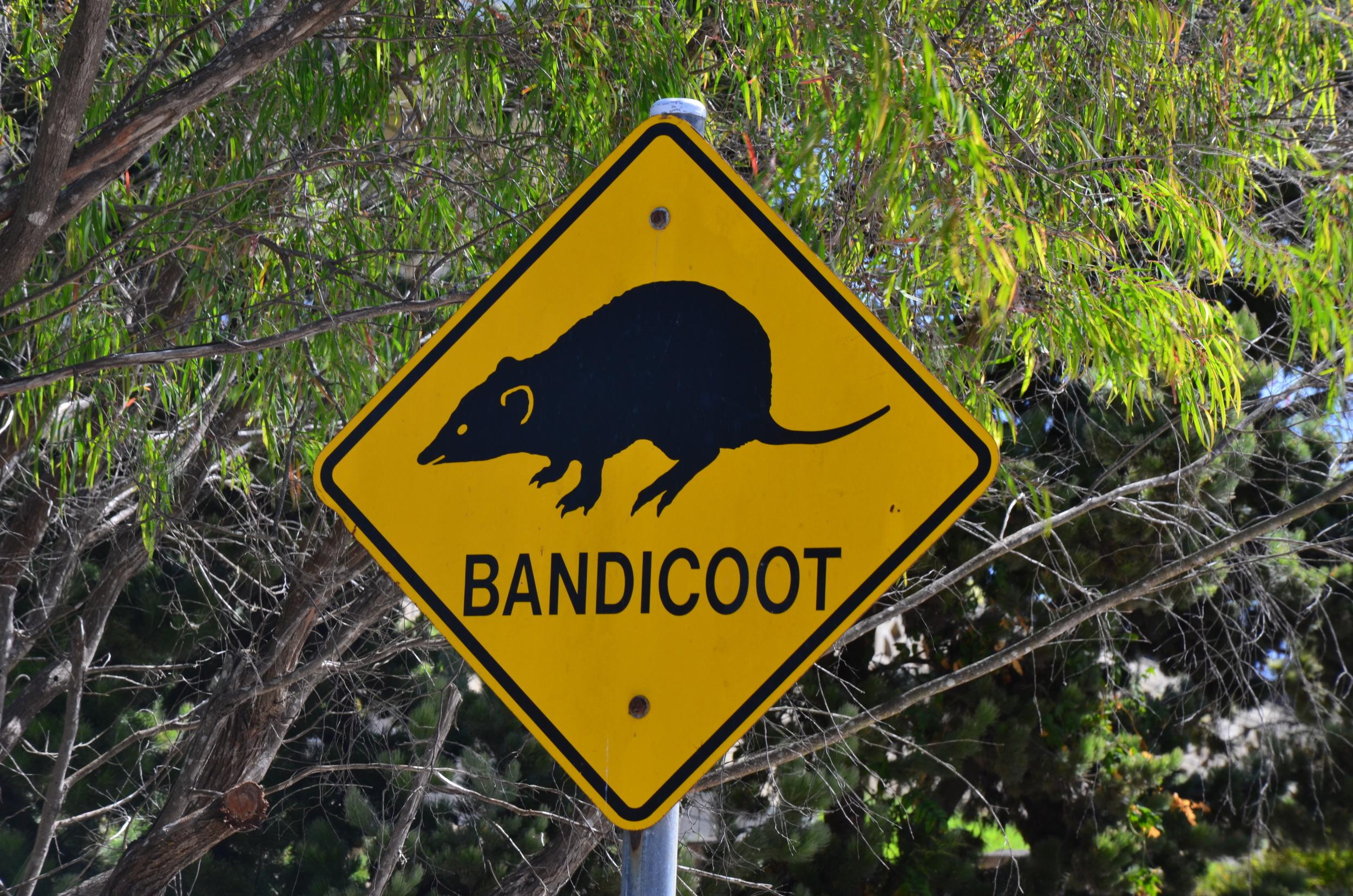 Bandicoot, Kev thinks it's a fancy Australian name for rat, crossing.