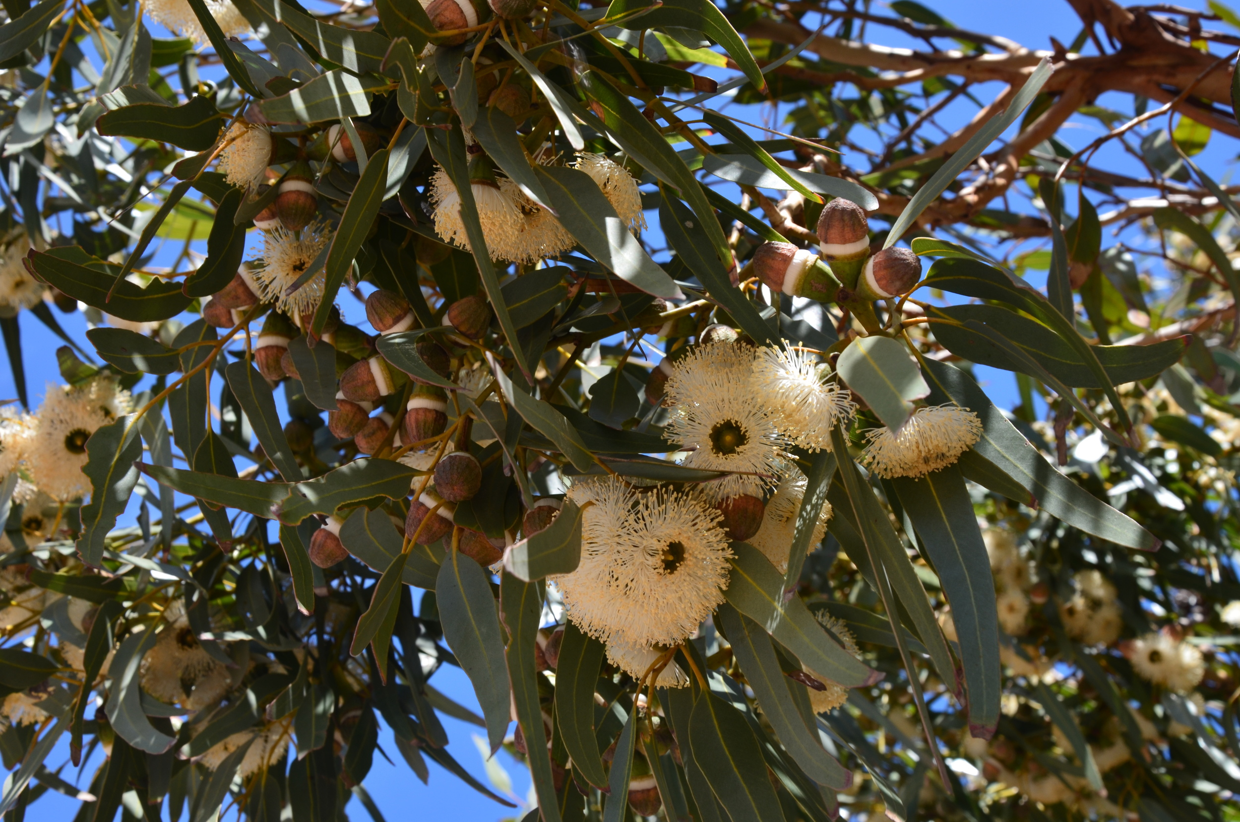 Gumtree blooming ther