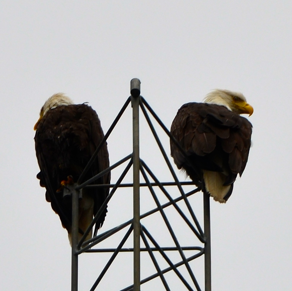 Bald Eagles on a tower at Cow Bay