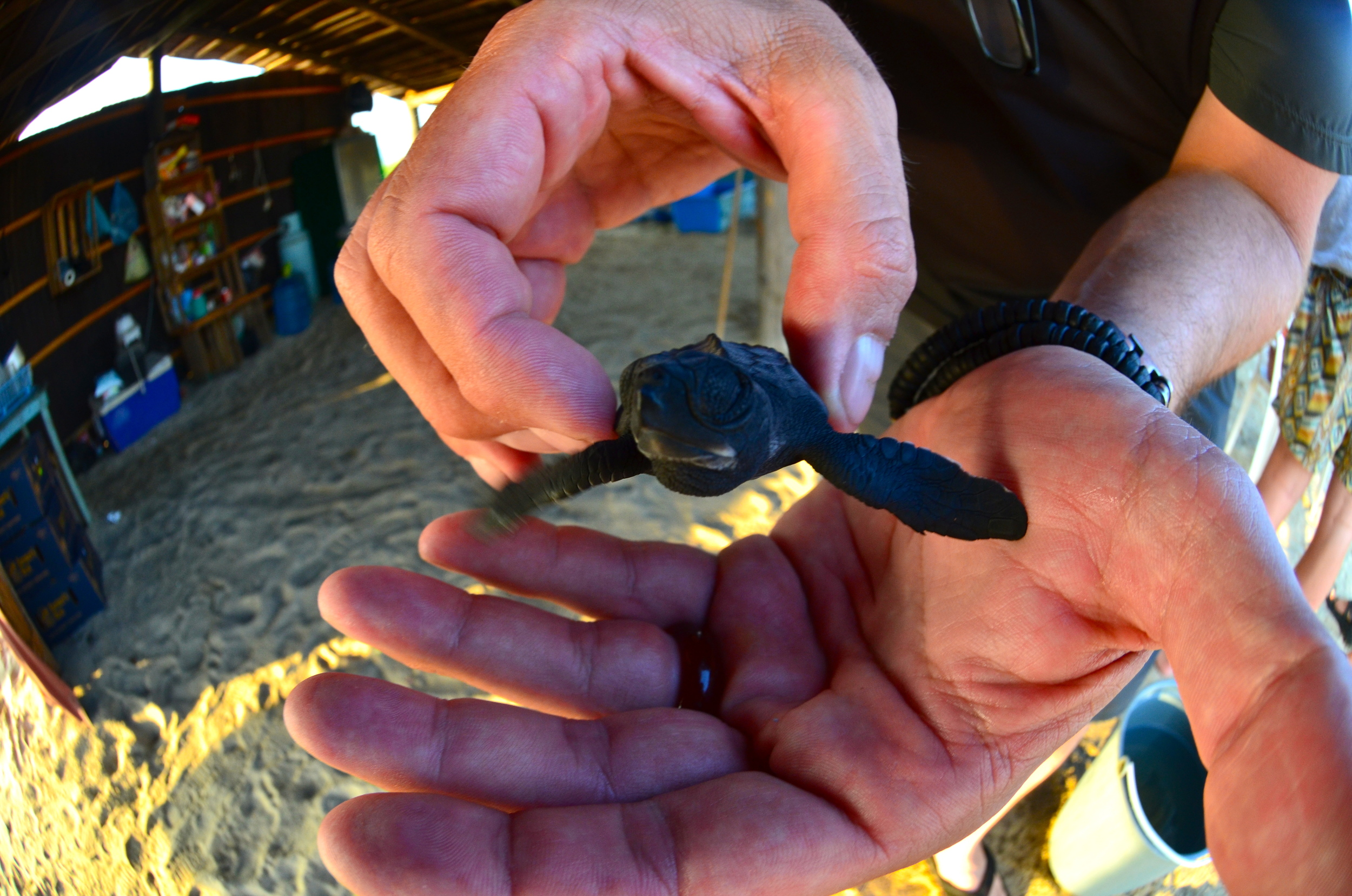 Baby Olive Ridley tortuga