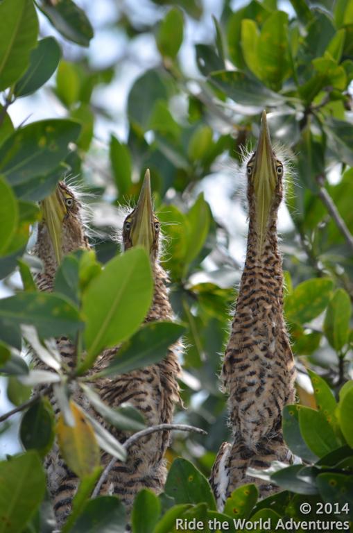 Nest of Tiger Herons