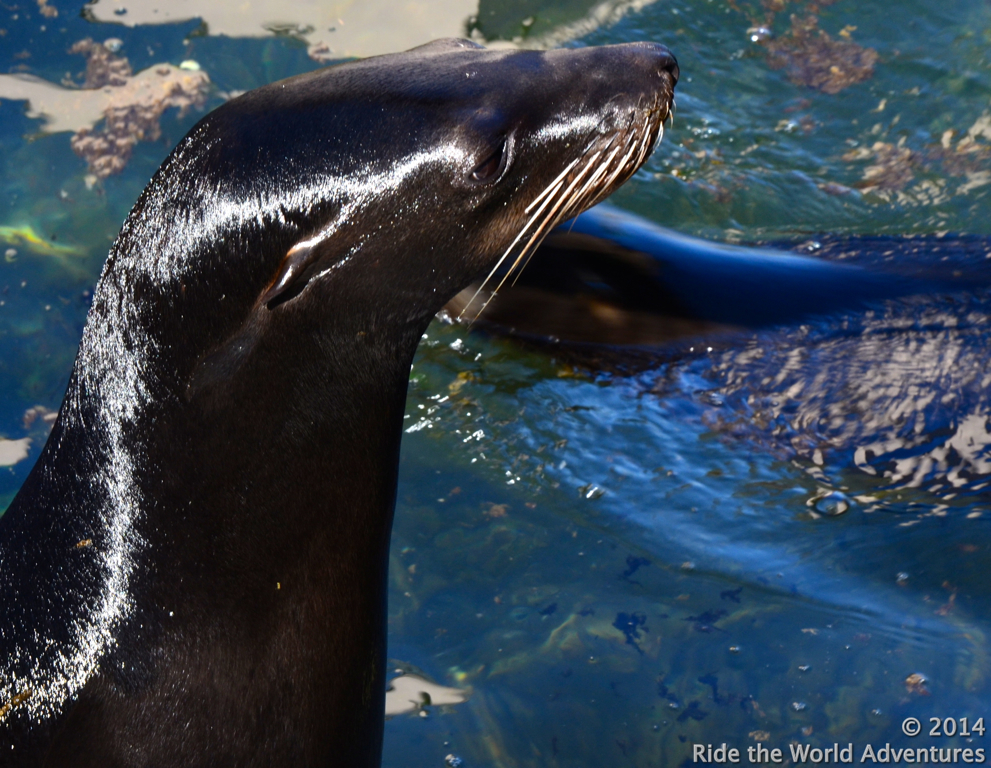 You can watch the slippery seals perform while sipping a cocktail
