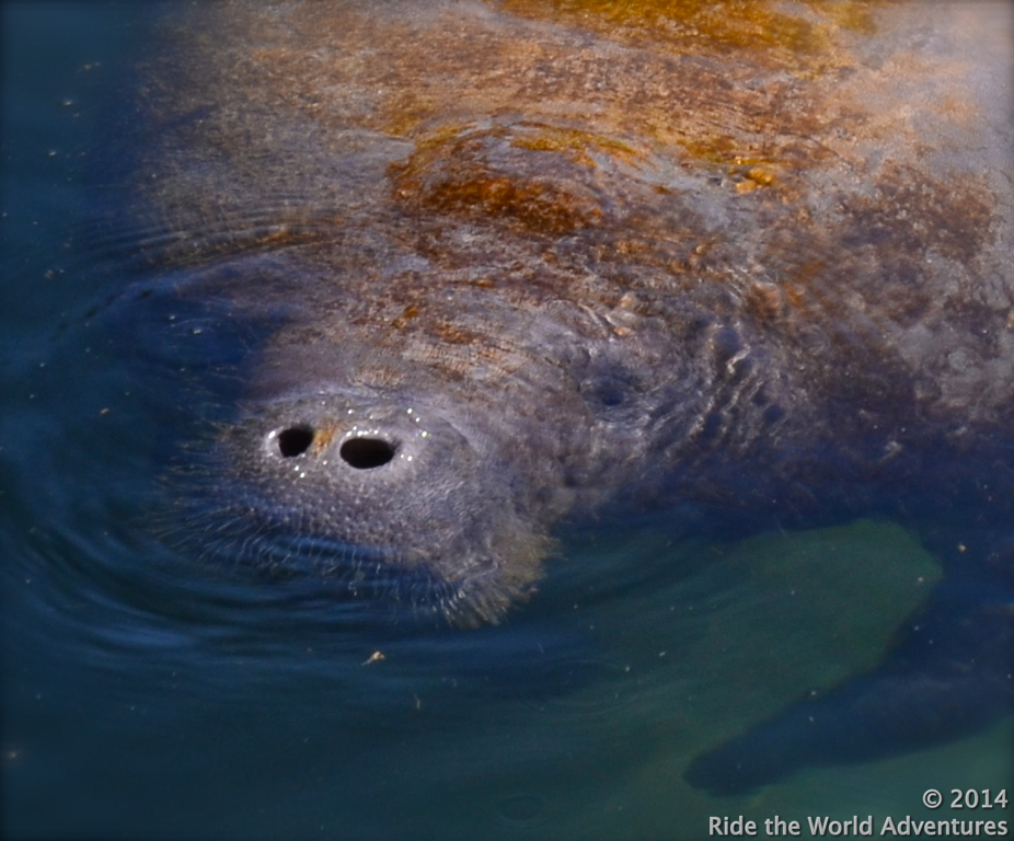 You can feed the manatees