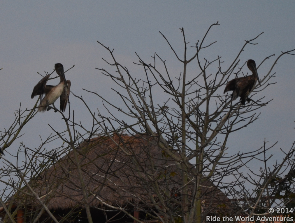 It is quite uncanny really…about as rare as Pelicans roosting in trees here in Puerto Adventuras!