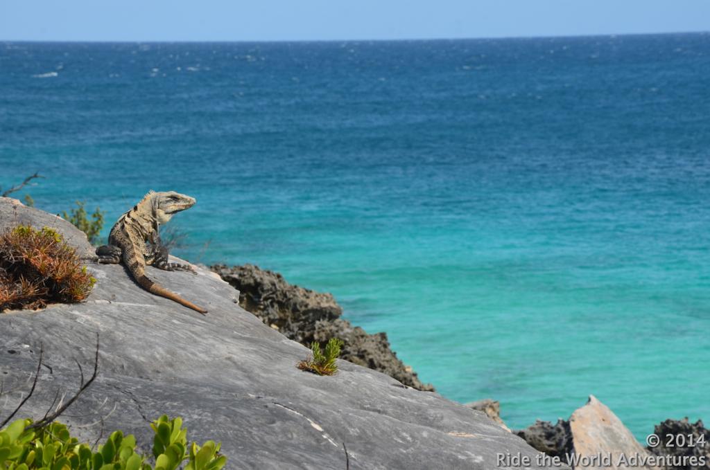 An iguana west coast gazing