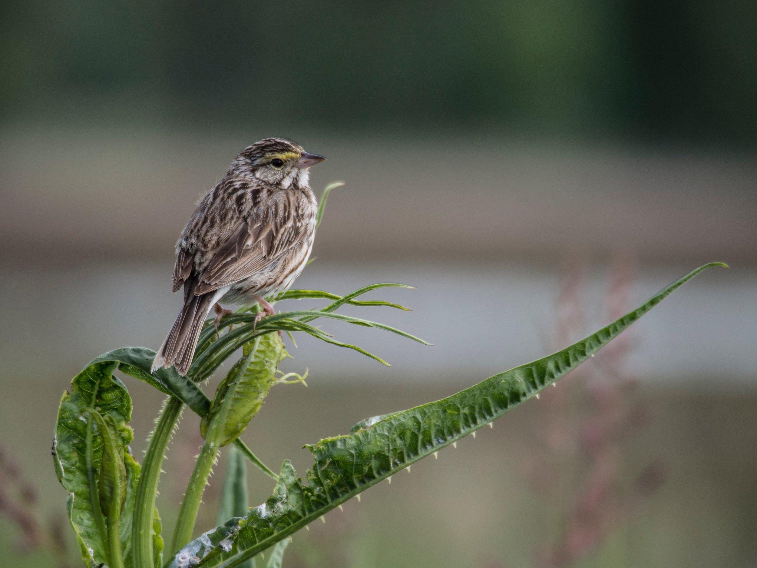 Savannah Sparrow; Wildlife Refuge