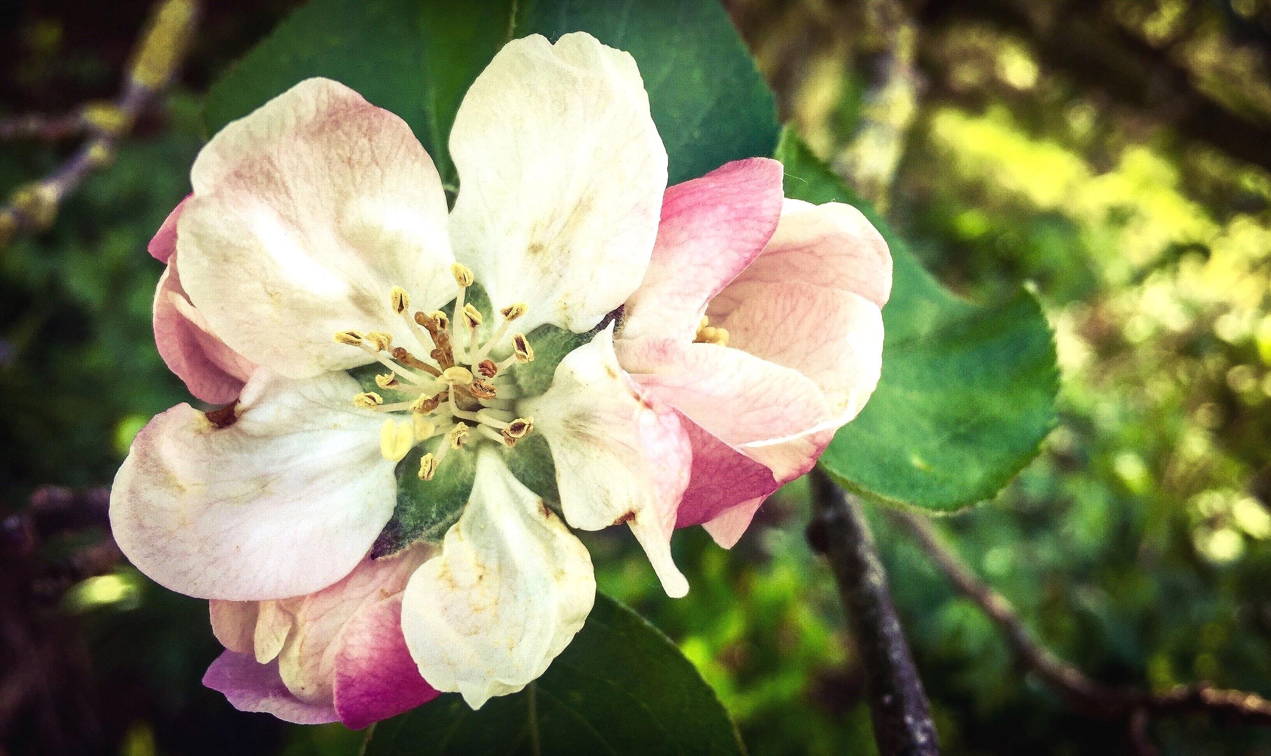 Apple Blossom: iPhone