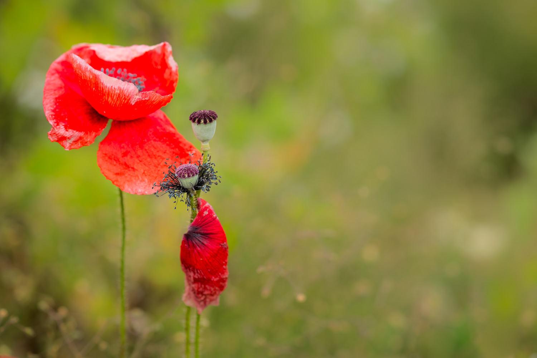 poppy decay