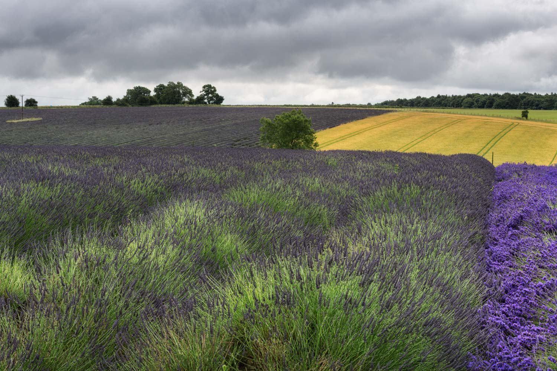 lavender contrast