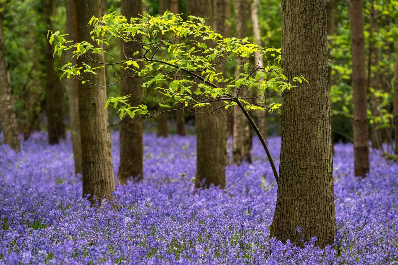 Bluebell Woodlands Photography Workshop