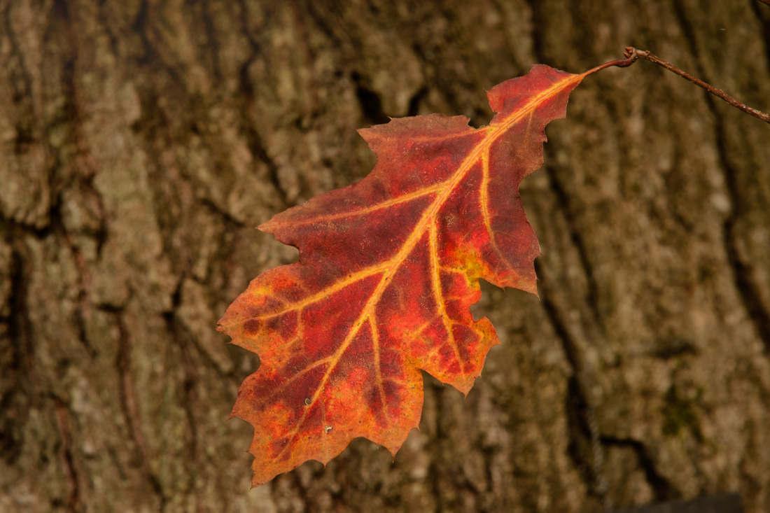 americ red oak