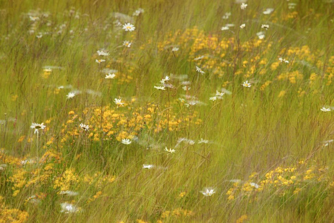 Swaying Wild Flower Meadow - Jun 2015