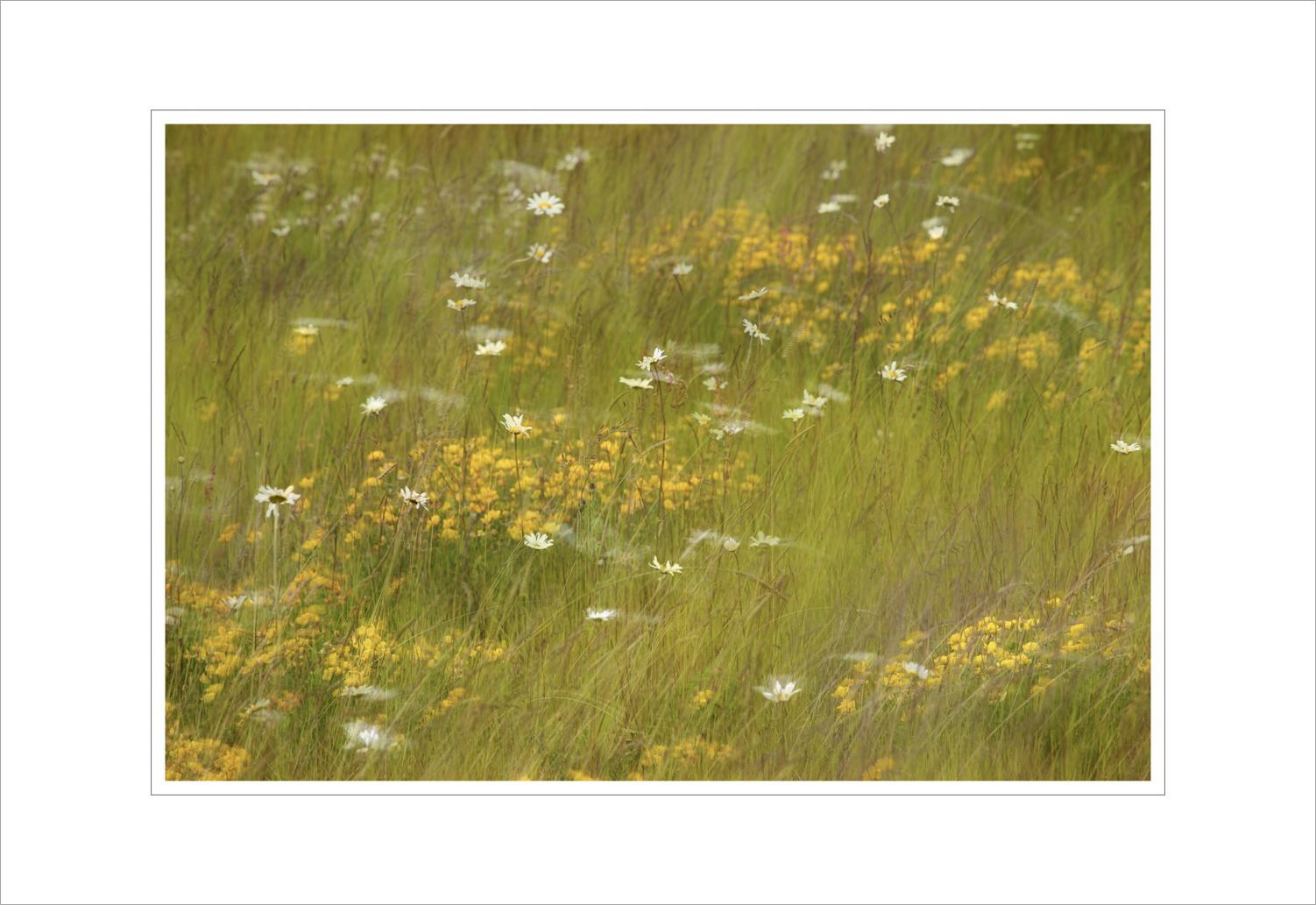 013 Swaying Wild Flower Meadow