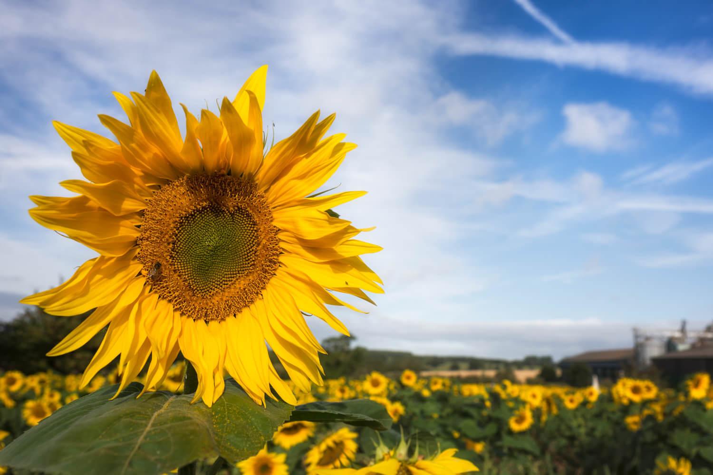 sunflower heart-Alan-Ranger-Photography.jpg