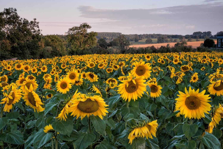 sunflower pre-sunrise-Alan-Ranger-Photography.jpg