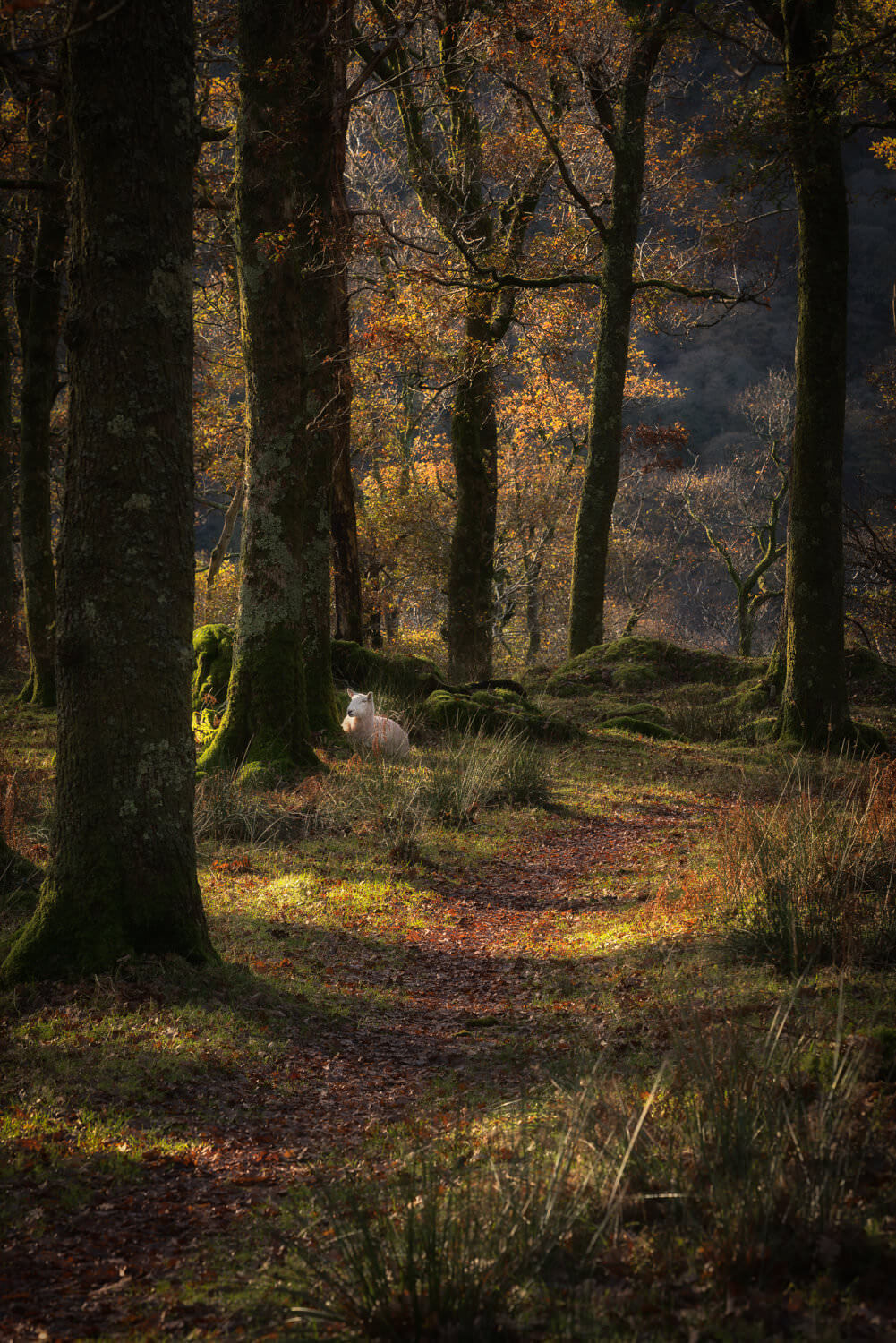 sheep in the woods-Alan-Ranger-Photography.jpg