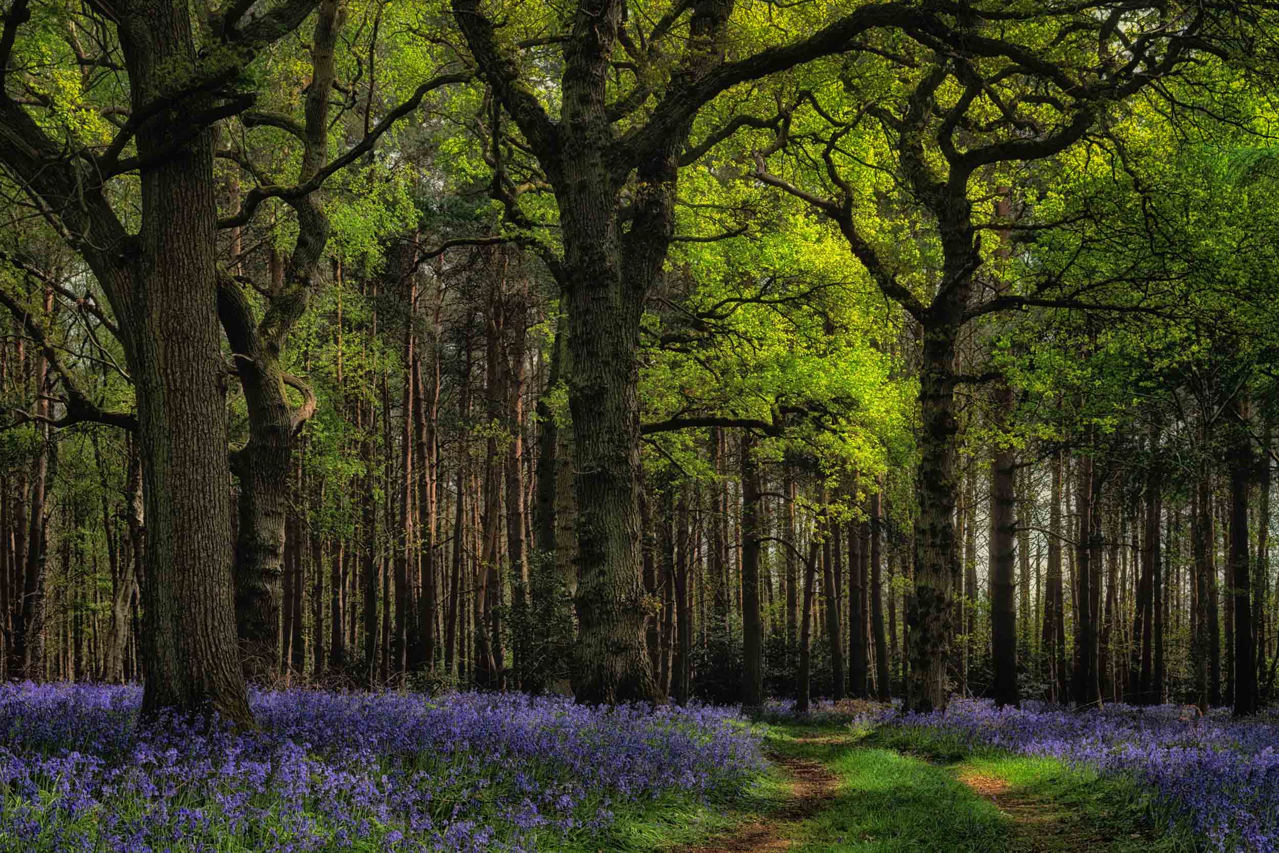 Bluebell Woods 2019