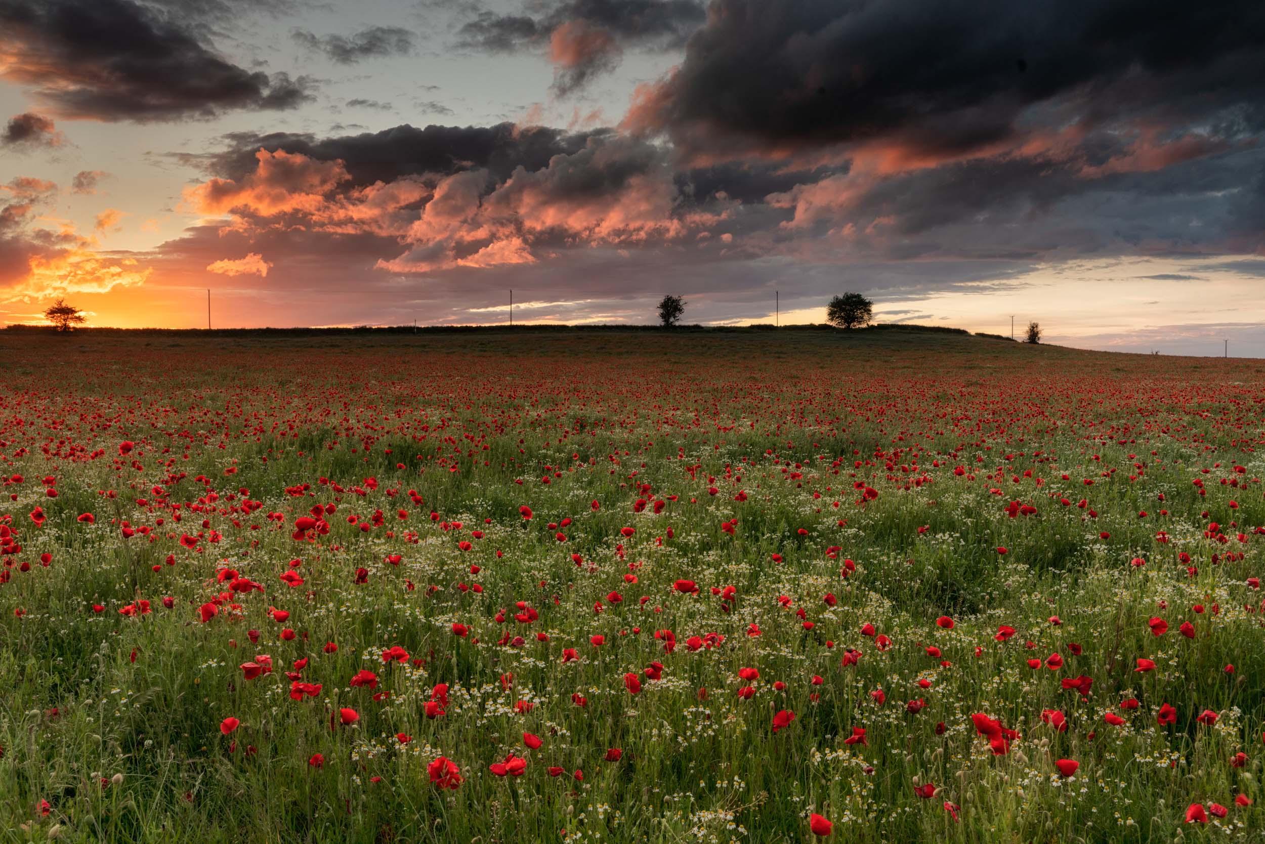 8th June - Sunset Poppy Field