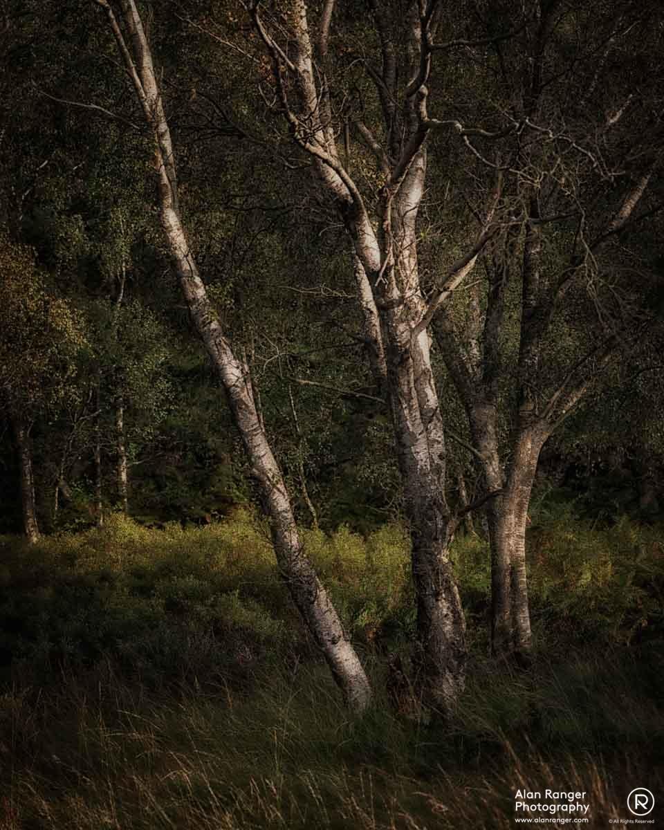 birch 3
