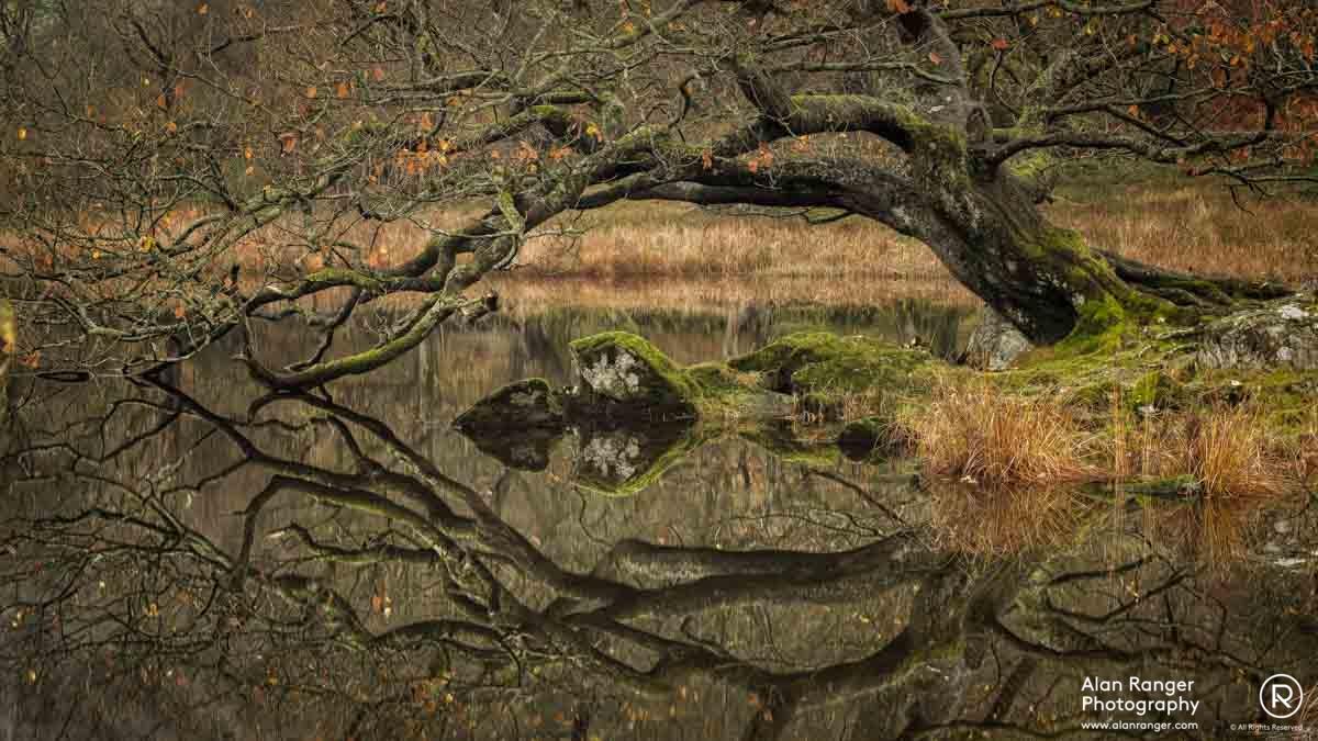 rydal tree