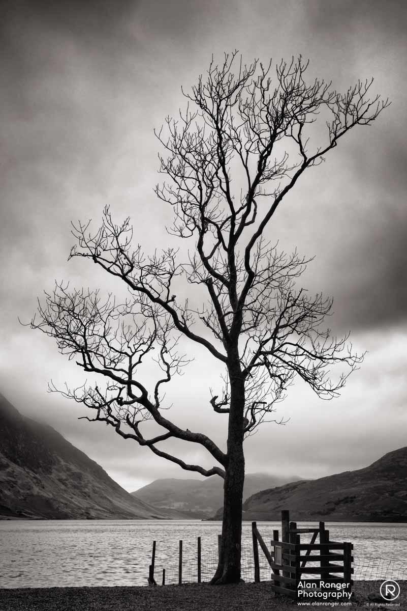 crummock tree