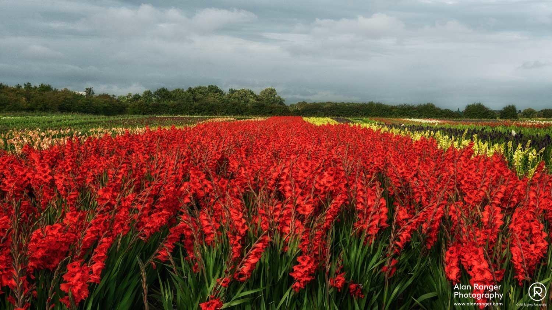 gladiolus field 2