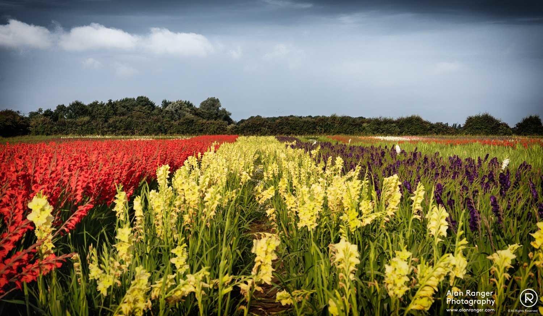 gladiolus field 1