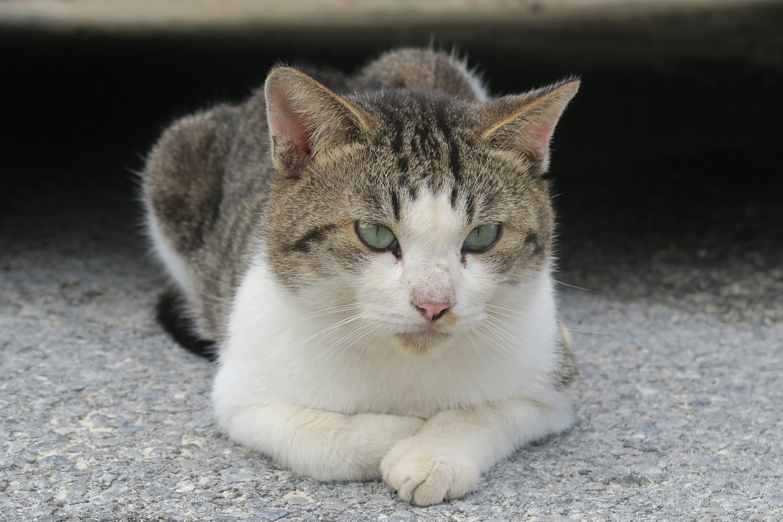 Kumejima Cat