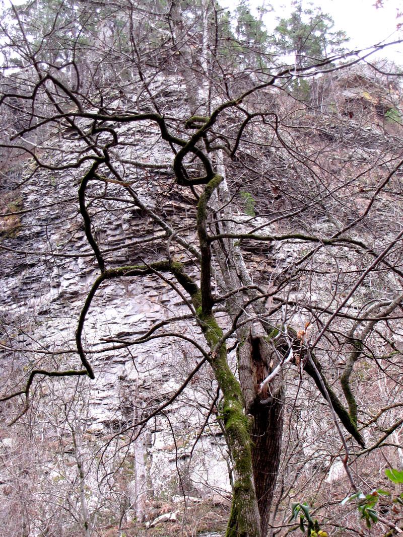 redbudtree.jpg