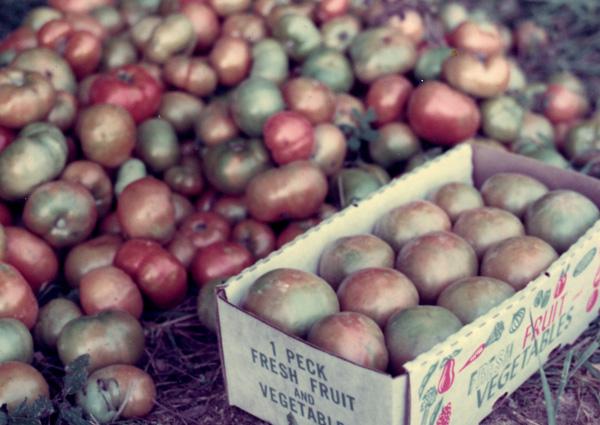 Tomatoes, Paula Kovarik