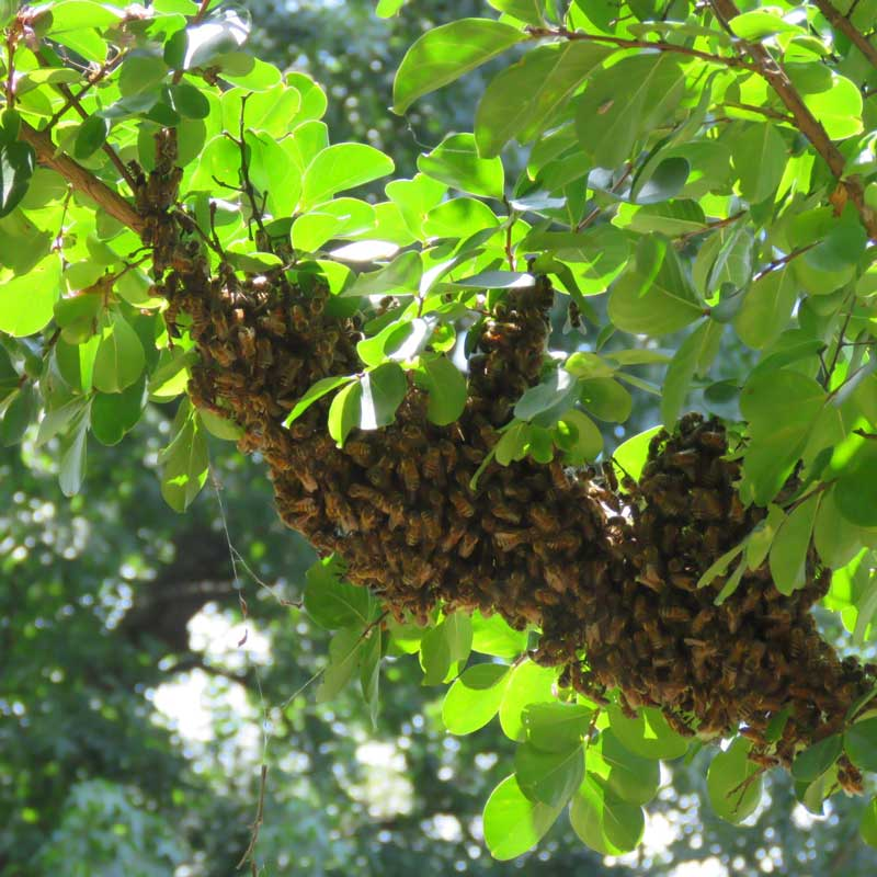 Bee swarm, Paula Kovarik