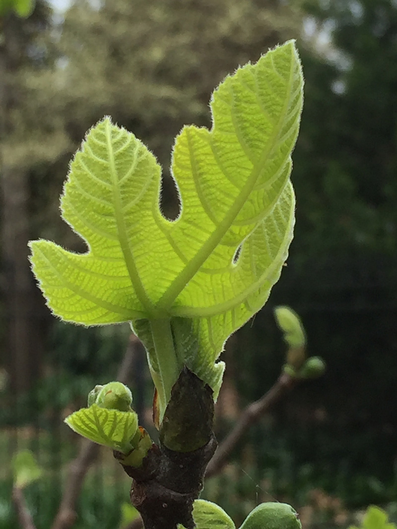 The muscular structure of this fig branch needs one of those overtures with heroic drums as a background tune.