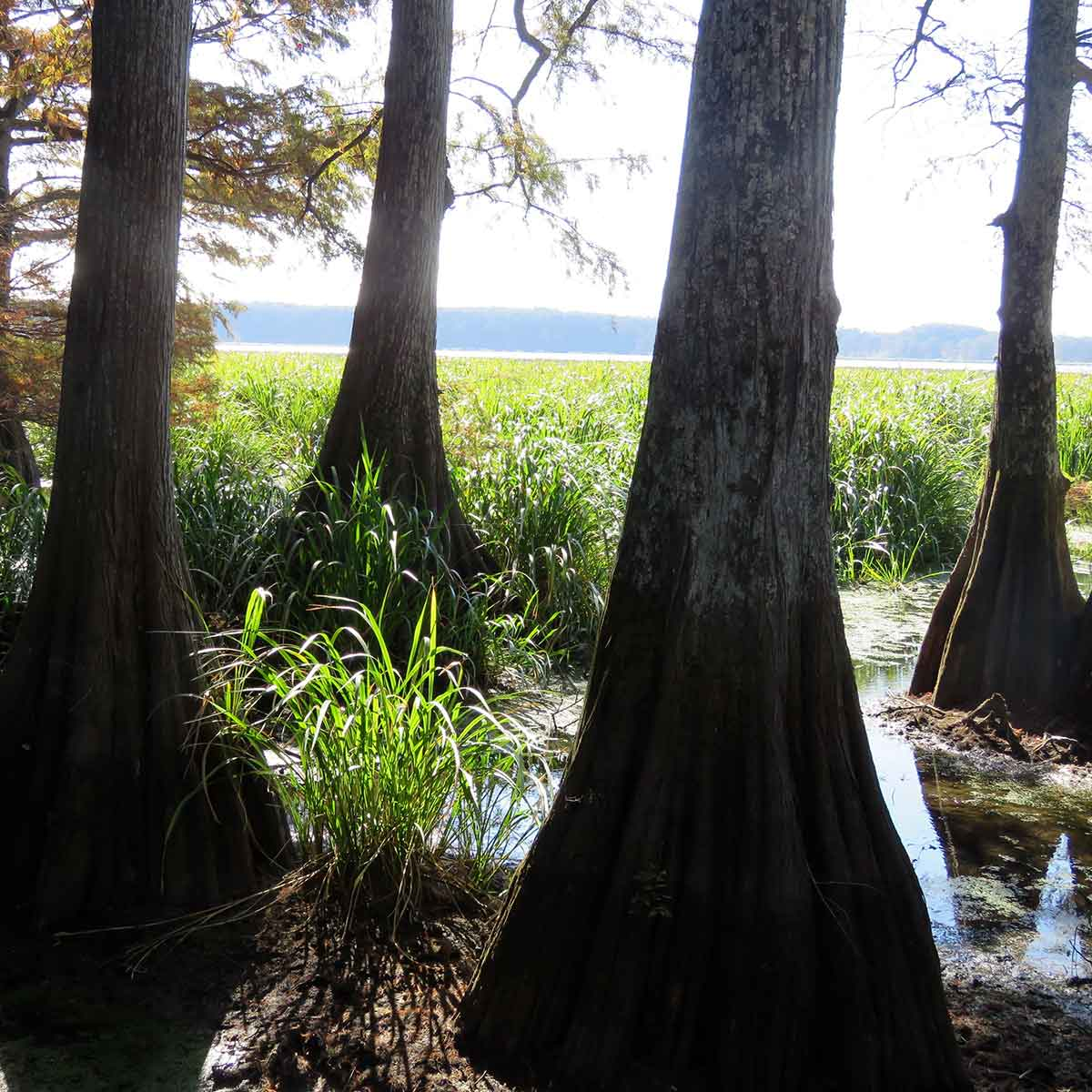 Cypress trees on a stress-reducing walk reminded me of the new leaders walking into office — dark and foreboding figures.