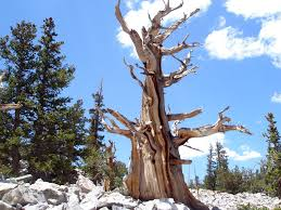 Take a hike! For hiking information in Great Basin National Park, just click on the Bristlecone pine.