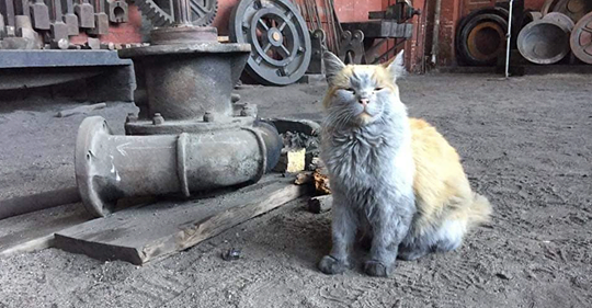 "Meet ""Dirt"" nevada northern railway's famous ""shop cat"" - and take a ride on a train, It's a fun ""day trip"" into ely! click on the photo above to learn more."