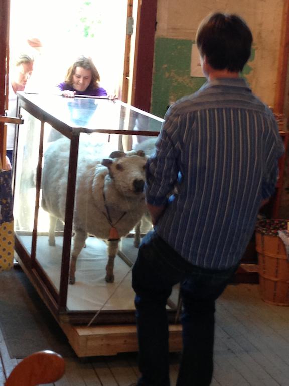 smaller sheep move.jpg