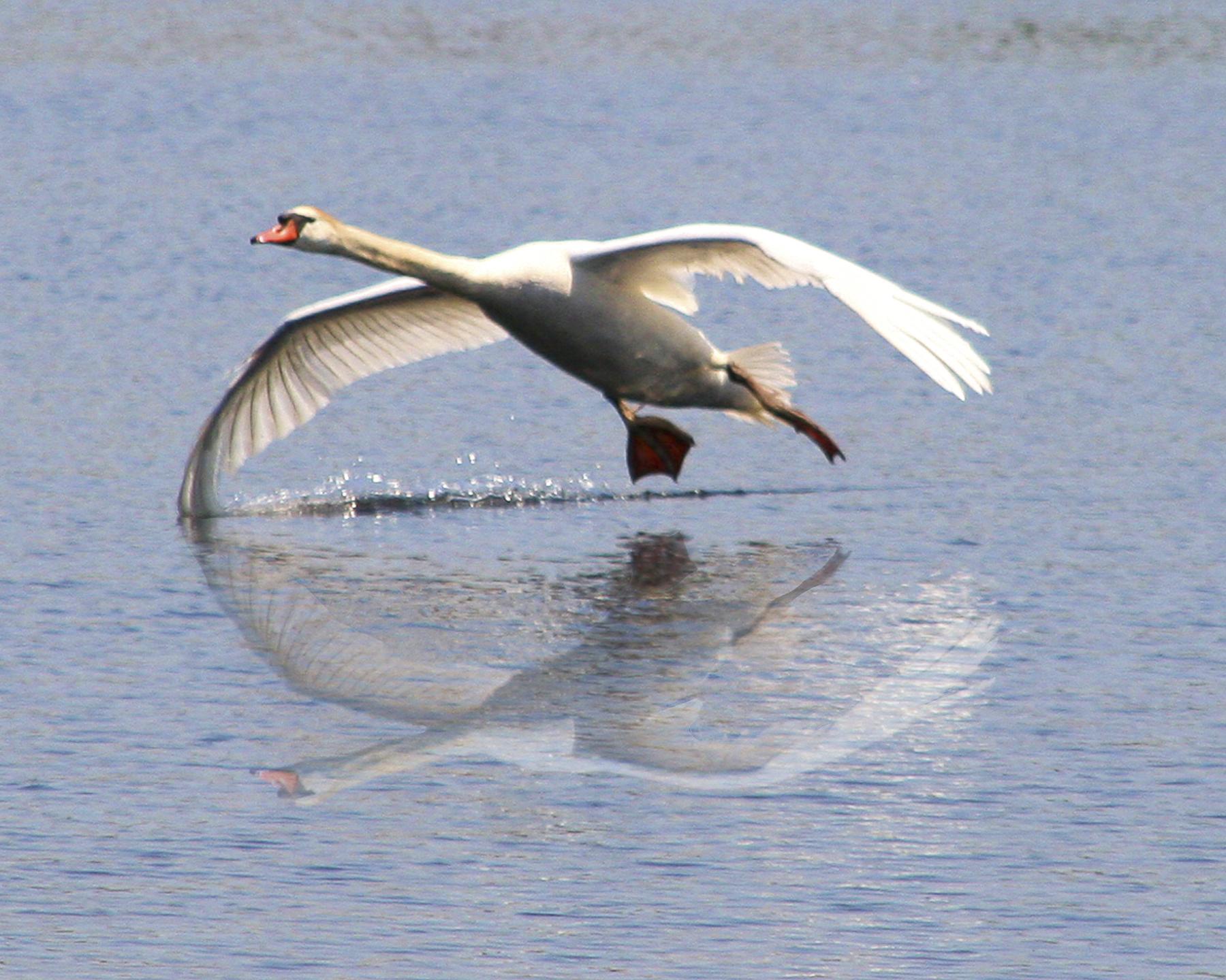 ed 275 swan wing in water IMG8x10 nik v reflection_4704.jpg