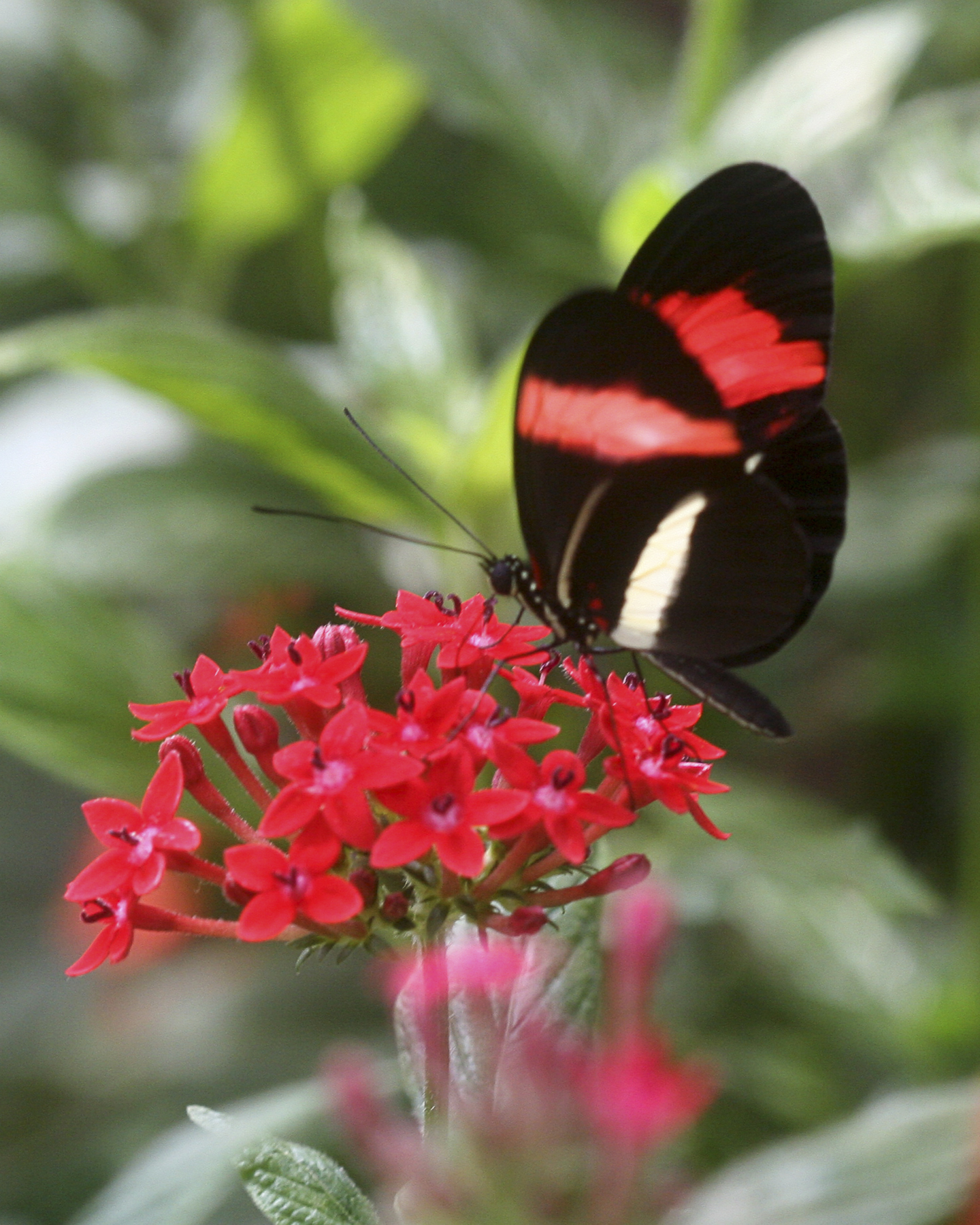 ed 258 red butterfly on red flower 2 IMG_5014 copy.jpg