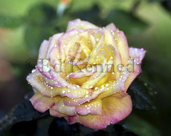 ed 030 8x10  Yellow Pink Wet Ros copy.jpg
