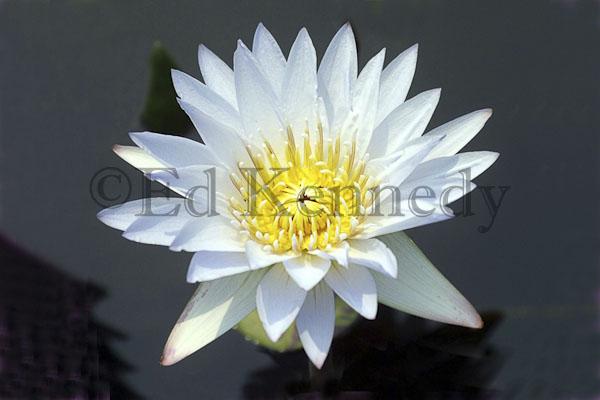 ed 080 4x6 white water lilly_IMG 4x6_.jpg