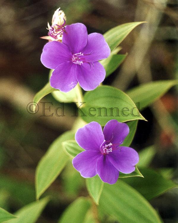 ed 044 res 400+ Two purple # 56 8x10_.jpg