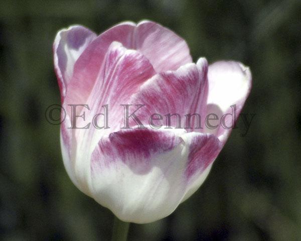 ed 043 8x10 res 300 Tulip May 8 8x10_.jpg