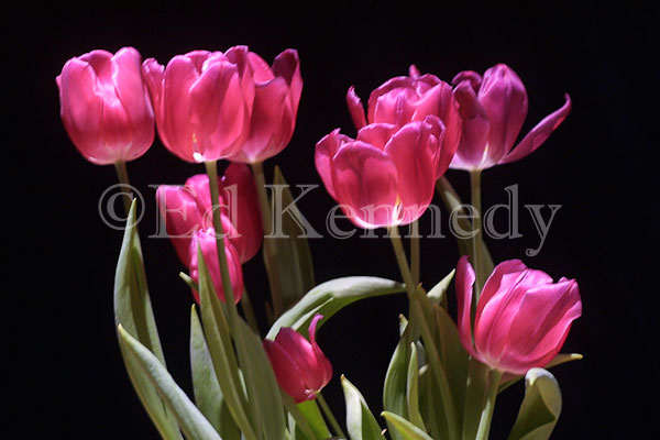 ed-016-137_3724-res-300-red-tulips-8x12_.jpg