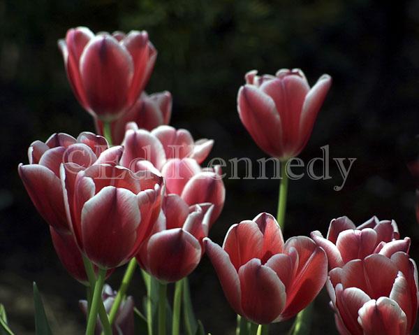 ed 022 res 300 red white tulips 8x10.jpg