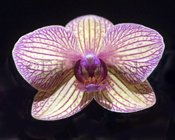 ed 014 137_3713res 300.jpg painted bird orchid #2 8x10.jpg