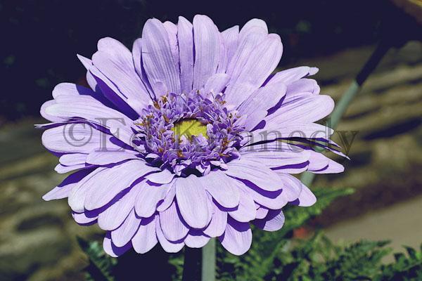 ed 126 purple paper lilly140_4058.jpg