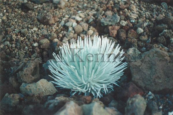 ed 129 5x7 Volcano Flower.jpg