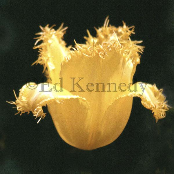 ed 125 yellow spiked tulip 8x8 copy.jpg