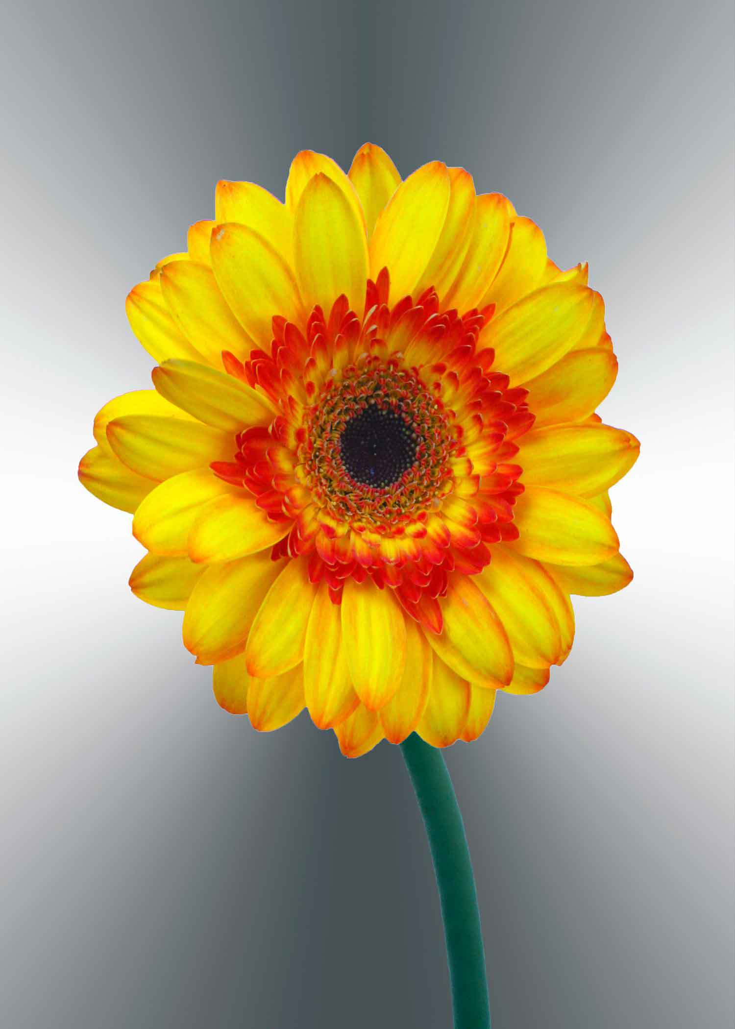 yellow-gerger-daisy-5x7-(22-of-236)-Edit-3-copy-2.jpg